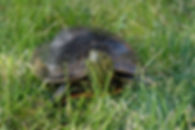 Western Painted Turtle sustaining multiple injuries from vehicle strike released August 2018 after 5 weeks in recovery