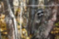 Orphaned raccoon released October 2017