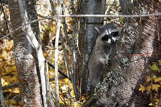 Orphaned raccoon released October 2017