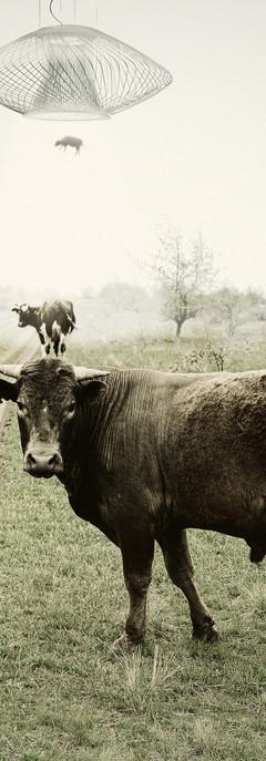 UPLIGHT-COW.jpg