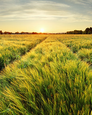 Wheat - Land For Sale