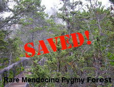 No Small Feat—Your Comments Helped Protect Rare Mendocino Pygmy Cypress Woodlands and Marbled Murrel