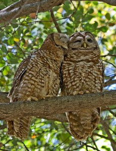 Action Alerts: Give Two Hoots for Northern Spotted Owls