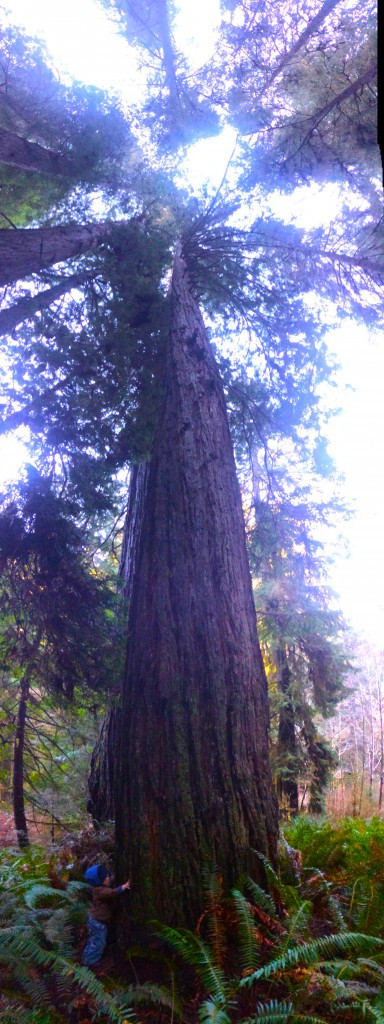 Madrone Hugging Ancient Redwood