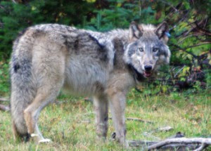 Wolf Coalition Launches Challenge To Nationwide Wolf Delisting