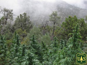 EPIC Requests Forest Service Analyze Impacts of Marijuana Grows on National Forest Lands in Northwes