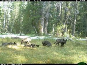 California Wolf Pups 1-jpg