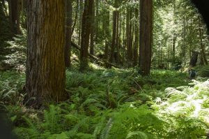 ACTION ALERT: Tell CAL FIRE Not To Log The Western Jackson Demonstration State Forest
