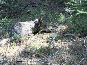 Wolf Update: California's Lassen Pack Grows