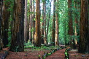 Plans Halted for Widening Highway Through Ancient Redwoods in California's Richardson Grove State Pa