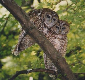 BREAKING: EPIC & Allies Challenge Northern Spotted Owl Critical Habitat Ruling In Court!