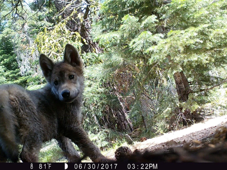 California Wolves Update: Now 3 Active Packs!