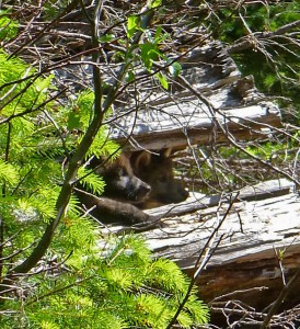 Gray Wolf gets California Endangered Species Protections!