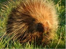 Photo 14. Yellow-haired porcupine at TDSP.