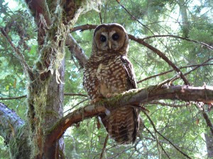 Saving the Forest and the Owl