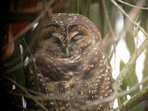 Action Alert: Proposed HCP for SPI a Bad Deal for Spotted Owls, Comments Needed!
