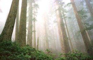 Climate Change and the Coast Redwood