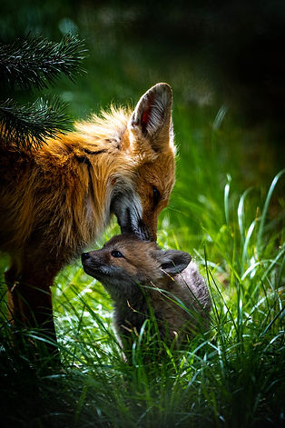 red fox and kit_ Grant Teton NPS.jpg