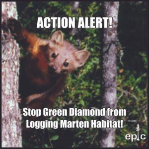 Action Alert: Green Diamond Clearcuts Threaten Humboldt Marten in Klamath Glen