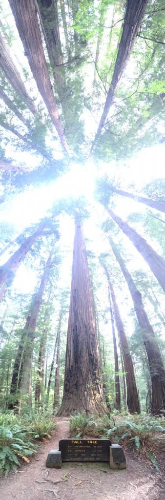Tall Tree - Humboldt Redwoods State Park
