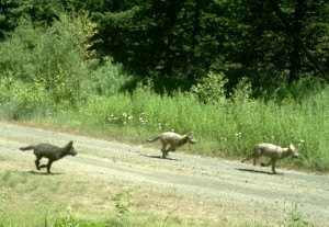 Remote camera photo from July 21, 2013, documenting three pups in the newly formed Mt Emily pack. -Oregon Fish and Wildlife-