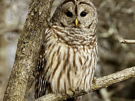 Barred Owl Removal Necessary to Save Spotted Owls