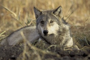 Western Wolf Coalition Challenges Nationwide Wolf Delisting