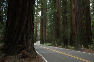 ACTION ALERT: Save the Old Growth Redwoods of Richardson Grove!