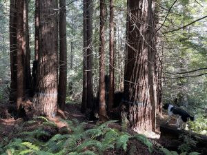 Action Alert: Ask the Natural Resources Agency to Conserve Jackson Demonstration State Forest