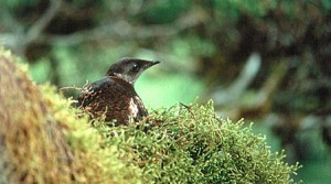 Logging Industry Loses Latest Attack on Threatened Seabird
