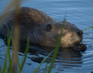 EPIC Beaver Rules Move Ahead
