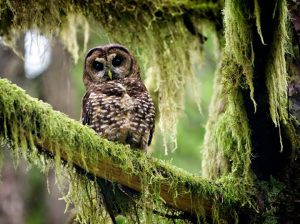 Your Comments Needed To Rescind Trump Rollbacks of Spotted Owl Critical Habitat!