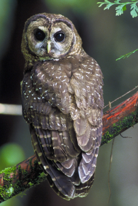 EPIC Uncovers Mendocino Redwood Company Violations That Endanger Northern Spotted Owls