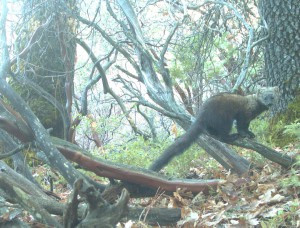 Take Action—Tell the Fish and Wildlife Service to Protect the Pacific Fisher