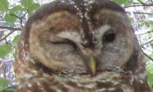EPIC Vigilance Saves Old-Growth Fir and Spotted Owl Nest from Sierra Pacific Industries Saws
