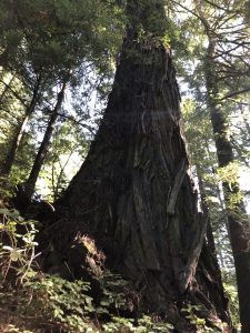 Victory! Old-Growth Redwood Saved from Caltrans Project