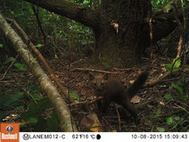 Humboldt Martens to Gain More Than 1 Million Acres of Protected Critical Habitat
