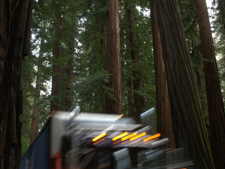 EPIC and Allies File Suit to Protect Ancient Redwoods From Caltrans Project