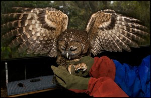 Judge Orders revisons to Spotted Owl Recovery Plan