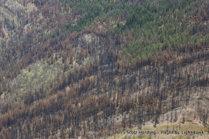Exposed: Post-fire Logging Harms Endangered Owl