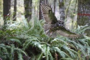 USFWS Cuts Northern Spotted Owl Critical Habitat by 42% in Likely Death Sentence for Species