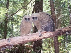 EPIC Asks SPI to Stop Logging Owl Habitat
