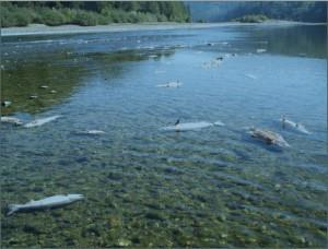 Source: USFWS Klamath River Fish Die-off Report