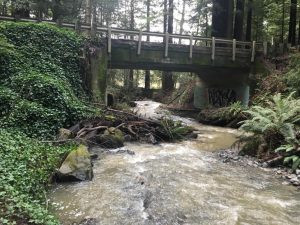 Proposed Caltrans Roadwork Places Old-Growth Redwood At Risk