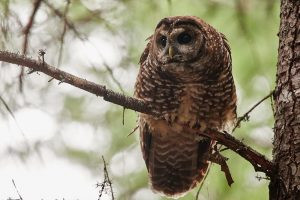EPIC And Others To Sue USFWS for Putting Northern Spotted Owls at Risk