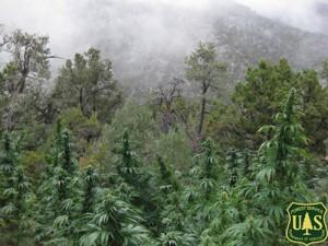 USFS Marijuana Grow