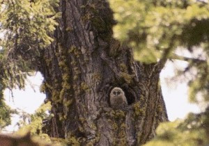 Protect California's Spotted Owls and Ancient Forests