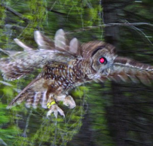 EPIC stops SPI from logging near Spotted Owl nest