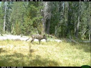 California Wolf Pups 3
