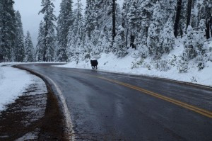 A steer on the Klamath National Forest walking home 10 days after all Cattle are supposed to have been removed from public land